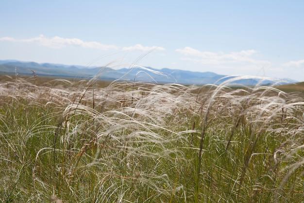 Stepowa puszysta trawa z piór w słońcu na tle błękitnego nieba