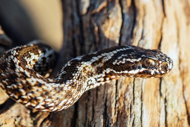 Steppe viper, vipera ursinii, jadowity wąż