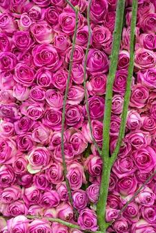Sterta różowych róż na krzaku z bliska