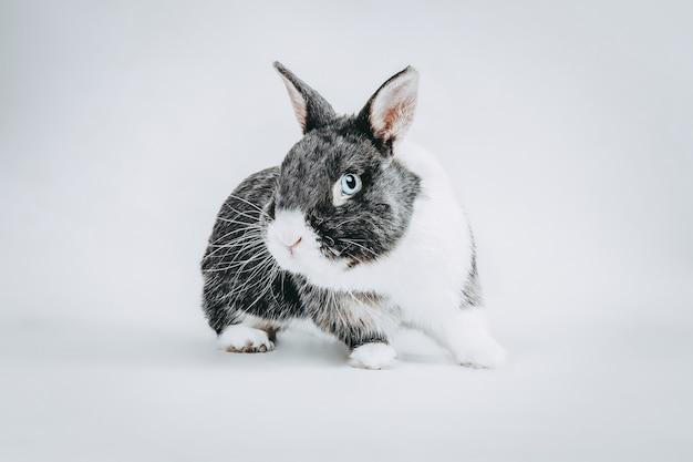 Stock photography biały i szary królik na białe niebieskie oczy