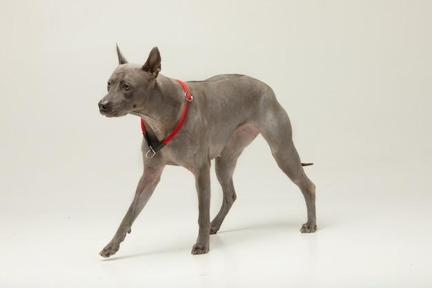 Stoisko dla psa thai ridgeback przed szarą ścianą