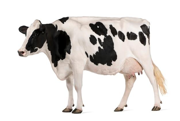 Stojąca krowa holstein