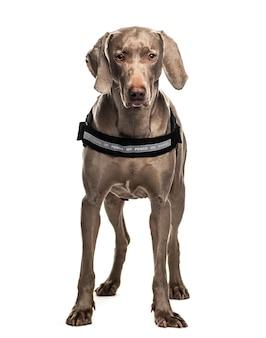 Stojący pies weinmaraner