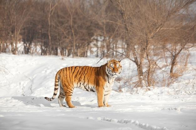 Stojący tygrys syberyjski