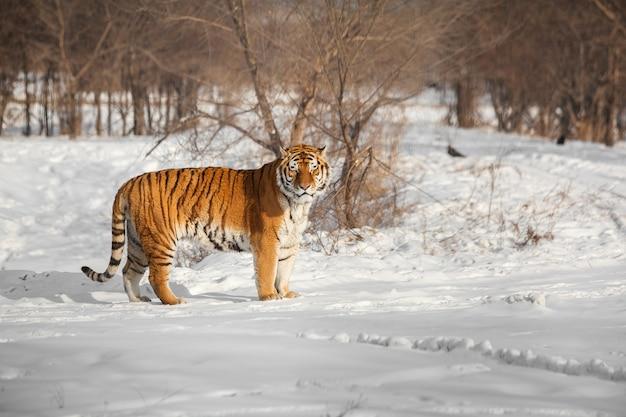 Stojący Tygrys Syberyjski Premium Zdjęcia