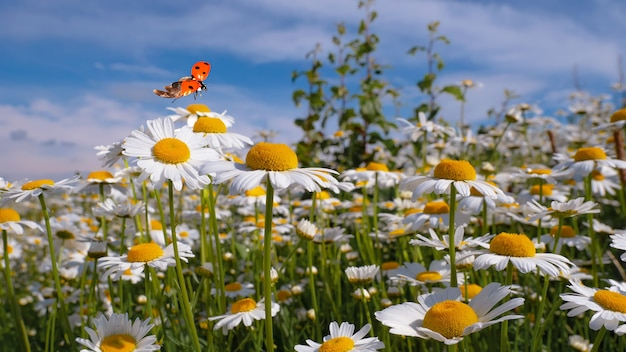 Stokrotka kwiat w polu na naturze na słonecznym dniu