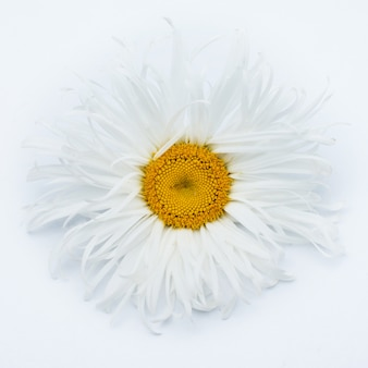 Stokrotka piękny kwiat