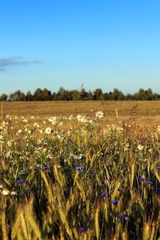 Stokrotka rośnie na polu rolnym, na którym rosną zboża