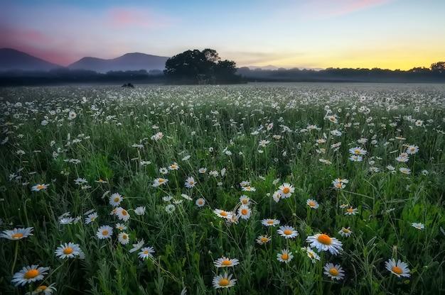 Stokrotki na polu w pobliżu gór. łąka z kwiatami i mgłą o zachodzie słońca.