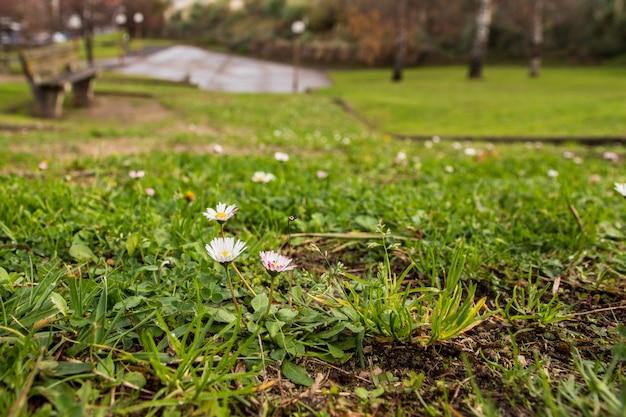 Stokrotki na zielonej trawie