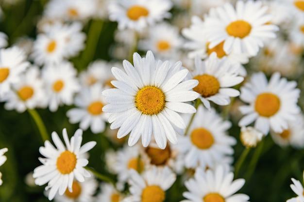 Stokrotki. rumianek. wiele kwiatów z białymi płatkami.