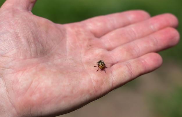 Stonka w dłoni. dorosłe chrząszcze colorado w paski.