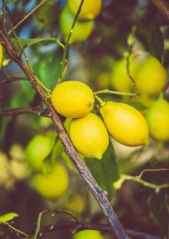 Stonowane zdjęcie świeżych dojrzałych cytryn rosnących na drzewie