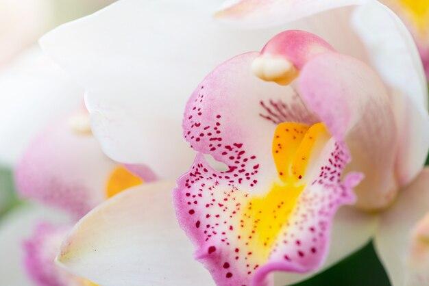 Storczyk paphiopedilum z bliska