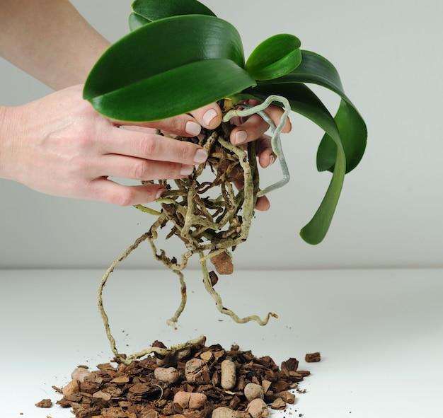 Storczyk phalaenopsis sadzenie, gleba, korzeń i mech na szaro.