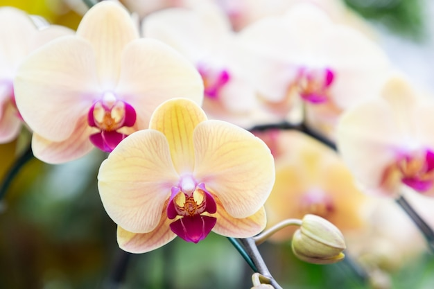 Storczykowy kwiat w orchidea ogródzie przy zimy lub wiosny dniem. phalaenopsis orchid or moth orchid.