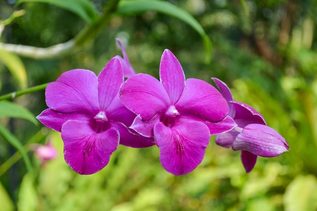 Storczykowy purpura kwiatu phalaenopsis w ogród zieleni tle
