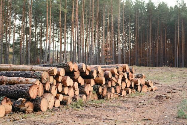 Stos drewna ze świeżo zebranych kłód sosnowych leży w pobliżu dawnego lasu sosnowego