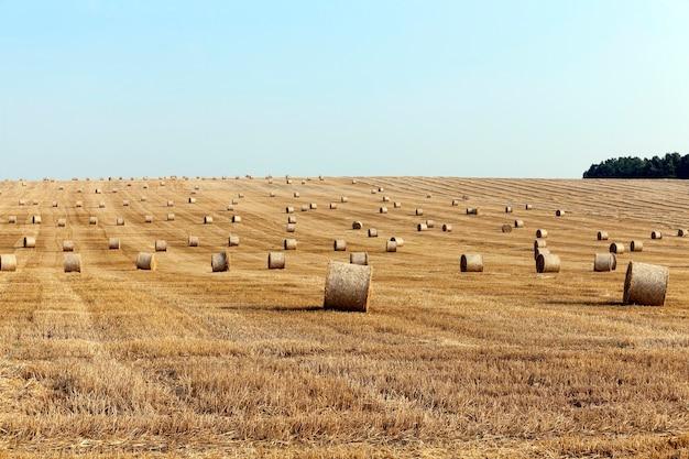 Stos słomy w polu pole rolnicze, na którym ułożone stogi słomy po żniwach pszenicy