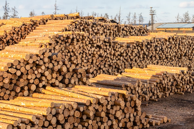 Stosy kłód sosny i modrzewia przygotowane na eksport. pojęcie wycinki i zniszczenia światowych rezerwatów leśnych.