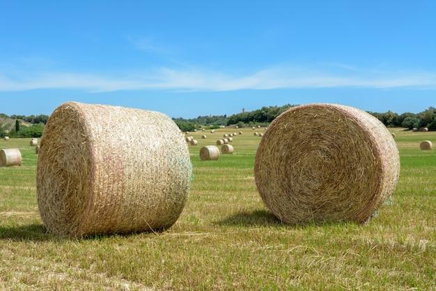 Stosy słomy bel siana zwinięte w stosy pozostawione po zbiorze kłosów pszenic...
