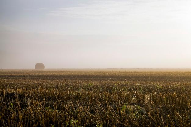 Stosy słomy na polu uprawnym we mgle, pole ze stosami po zbiorach o świcie