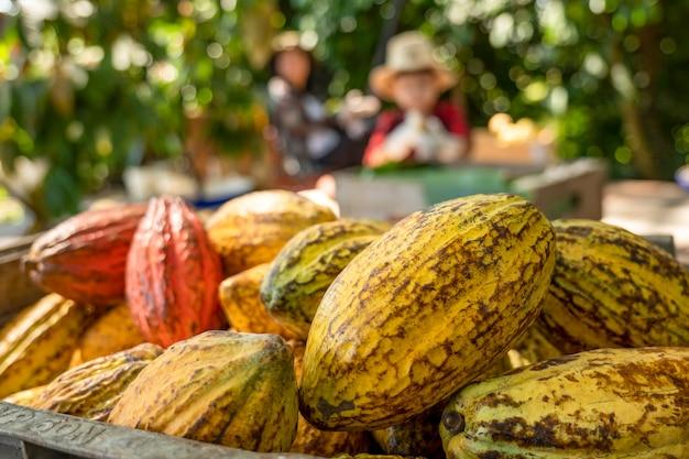 Strąki kakao z bliska na ekologicznej farmie czekolady w tajlandii.