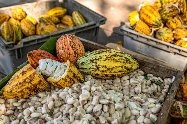 Strąki kakaowca strąki kakao ekologiczna farma czekolady tajlandia