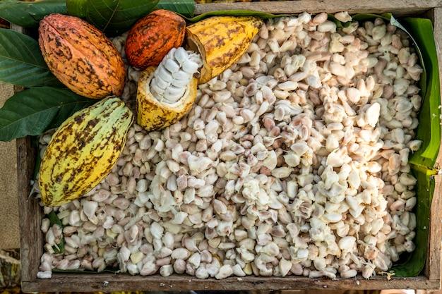 Strąki kakaowca strąki kakao ekologiczna farma czekolady tajlandia,