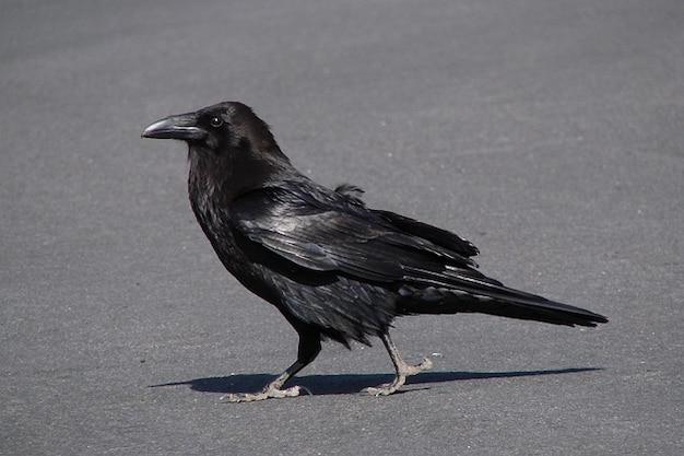 Straszne kopać mucha kruk ptak wrona