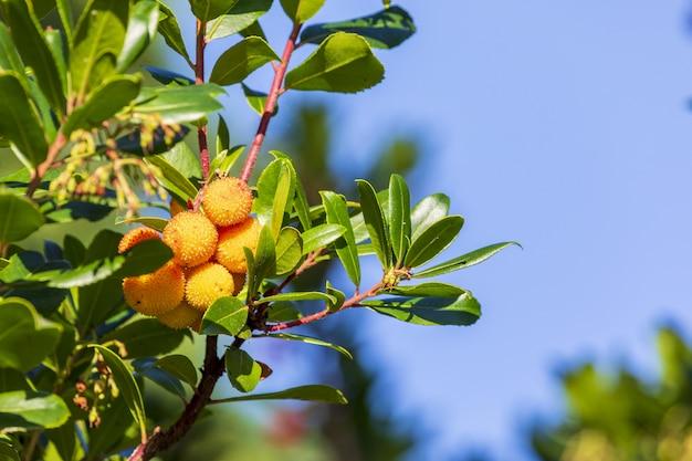 Strawberry fruit lub madrono z arbutus unedo