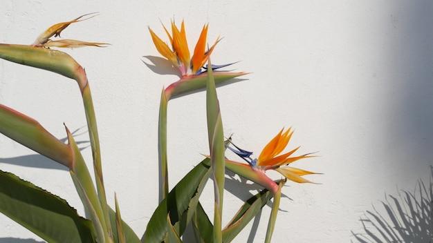 Strelitzia bird of paradise tropikalny kwiat żurawia, kalifornia usa. pomarańczowy egzotyczny kwiat kwiatowy, cień na białej ścianie, naturalny modny roślina doniczkowa do domowego ogrodnictwa. letnia atmosfera w los angeles