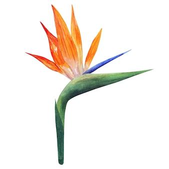 Strelitzia. piękny pomarańczowy kolorowy kwiat. ręcznie rysowane akwarela ilustracja. odosobniony.