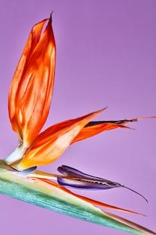 Strelitzia reginae, pomarańczowy i granatowy kwiat o niezwykłym kształcie w postaci ptaka