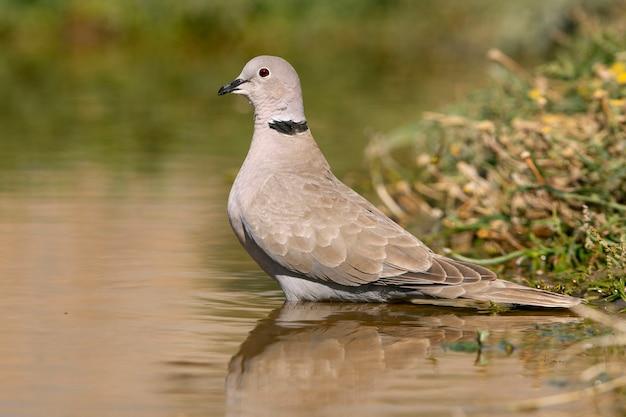 Streptopelia decaocto pije w wodzie pont latem, ptaki, gołębie, collared dove, turtur