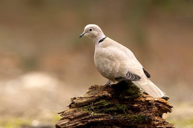 Streptopelia decaocto, ptaki, gołębie, collared dove, turtur