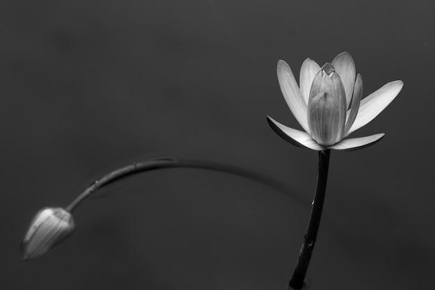 Streszczenie lilii wodnej