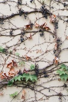 Streszczenie naturalne tło z dzikim pnączem winorośli na ścianie