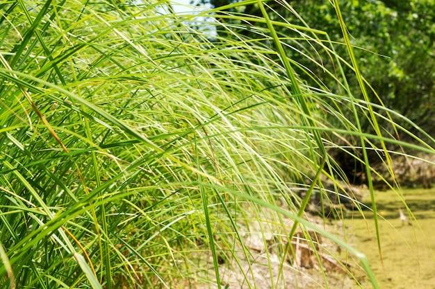 Streszczenie naturalny krajobraz z bagiennym latem