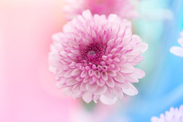 Streszczenie pastelowe różowe białe chryzantemy kwiaty