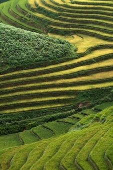 Streszczenie pól ryżowych na tarasie mu cang chai wietnam