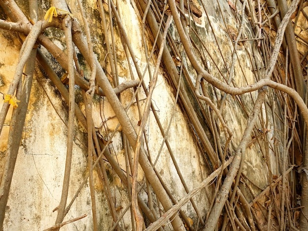 Streszczenie stary tekstura ścian betonowych w korzeniu drzewa