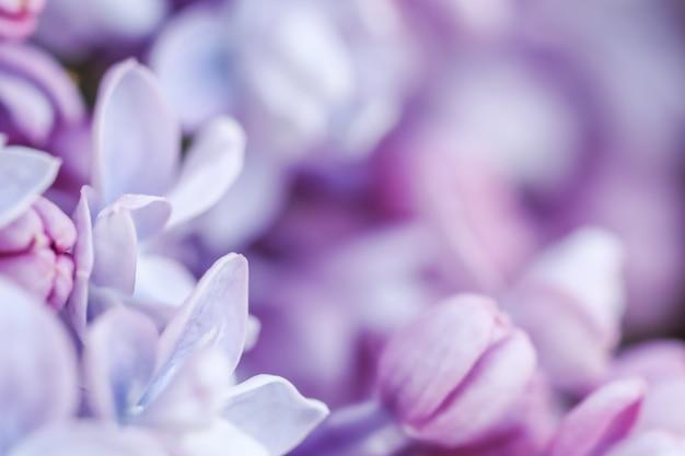 Streszczenie tło kwiatowy kwitnący oddział fioletowy frotte bzu kwiat płatki