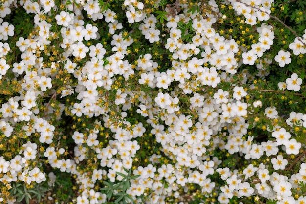 Streszczenie tło małych białych kwiatów. zbliżenie. tekstura natury
