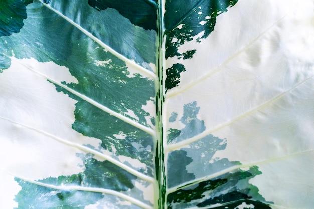 Streszczenie tło z zbliżenie pstrych liści w kolorze zielonym i białym.