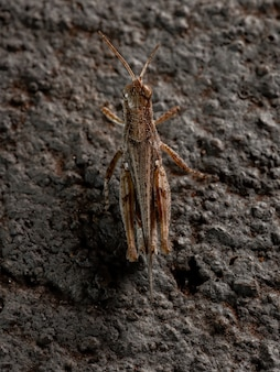 Stridulating slant-face grasshopper z rodzaju orphulella