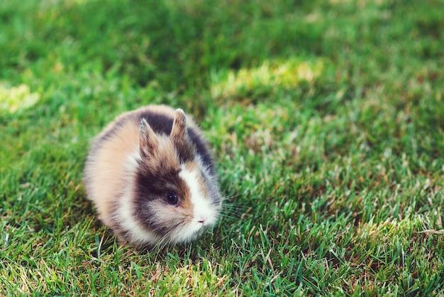 Strona główna dekoracyjny królik na zewnątrz. śliczny mały króliczek. śliczny karzeł ozdobny puszysty królik. królik na tle zielonej trawy. symbol wielkanocy. puszysty domowy zwierzak na spacerze. zajączek wielkanocny.