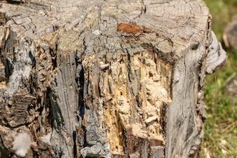 Struktura drewna zepsutego pnia drzewa,