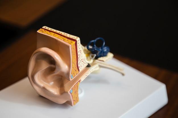 Struktura prawego ucha pod dużym kątem