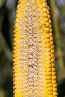 Struktura wewnętrzna kolby kukurydzy, pocięta na pół